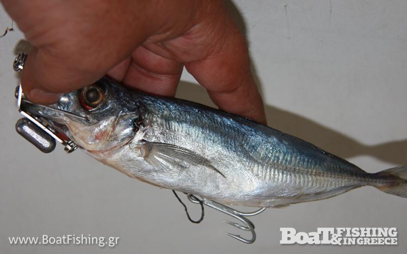 Μια σαλαγκιά που έχουμε δεμένη με χοντρό νήμα, αγκιστρώνεται το ένα άγκιστρο στη κοιλιά του ψαριού ενώ το παράμαλλό της δένεται στον κρίκο που υπάρχει στο κάτω μέρος του εξαρτήματος.