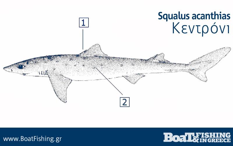 Καρχαρίες στην Ελλάδα - Κεντρόνι Squalus acanthias