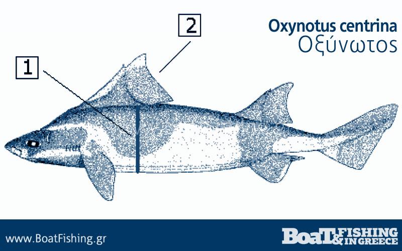 Καρχαρίες στην Ελλάδα - Οξύνωτος Oxynotus centrina