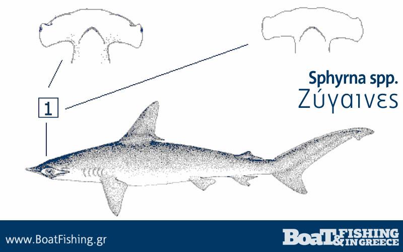 Καρχαρίες στην Ελλάδα - Ζύγαινες Σφυροκέφαλος Sphyrna spp