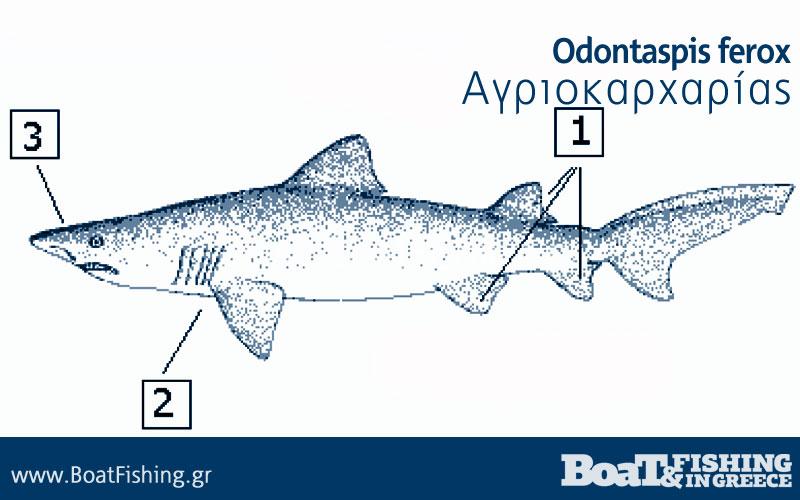 Καρχαρίες στην Ελλάδα - Αγριοκαρχαρίας Odontaspis ferox