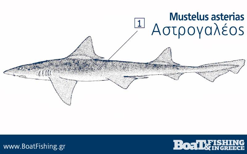 astrogaleos-Mustelus-asterias