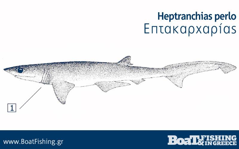 Καρχαρίες στην Ελλάδα - Επτακαρχαρίας Heptranchias perlo