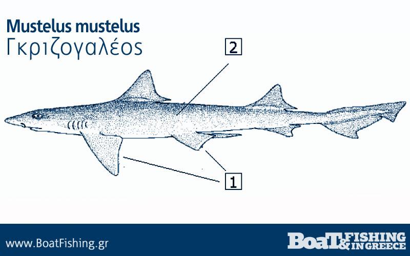 Καρχαρίες στην Ελλάδα - Γκριζογαλέος Mustelus mustelus
