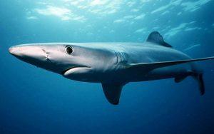 μπλε καρχαρίας - καρχαρίες στην ελλάδα