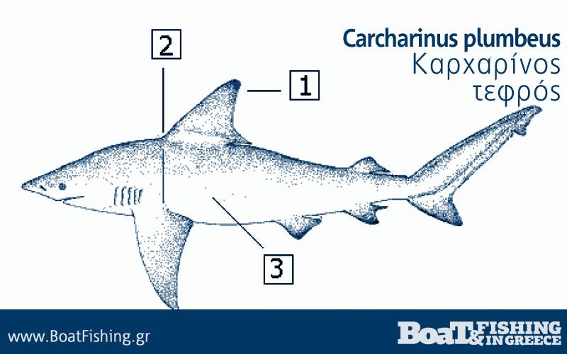Καρχαρίες στην Ελλάδα - Καρχαρίνος Τεφρός Carcharinus plumbeus
