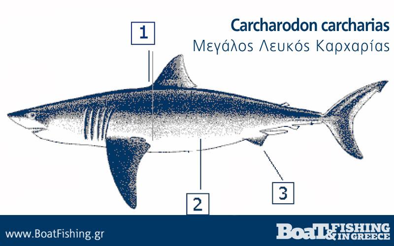 Καρχαρίες στην Ελλάδα - Μεγάλος Λευκός Καρχαρίας Carcharodon carcharias