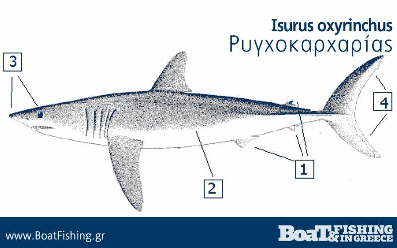 Καρχαρίες στην Ελλάδα - Ρυγχοκαρχαρίας Isurus oxyrinchus