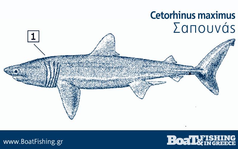 Καρχαρίες στην Ελλάδα - Σαπουνάς Cetorhinus maximus