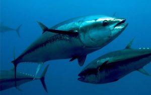 Αυξάνεται η ποσόστωση στο ψάρεμα τόνου