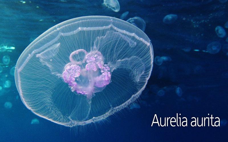 Μέδουσα Aurelia aurita | Μέδουσες και τσούχτρες
