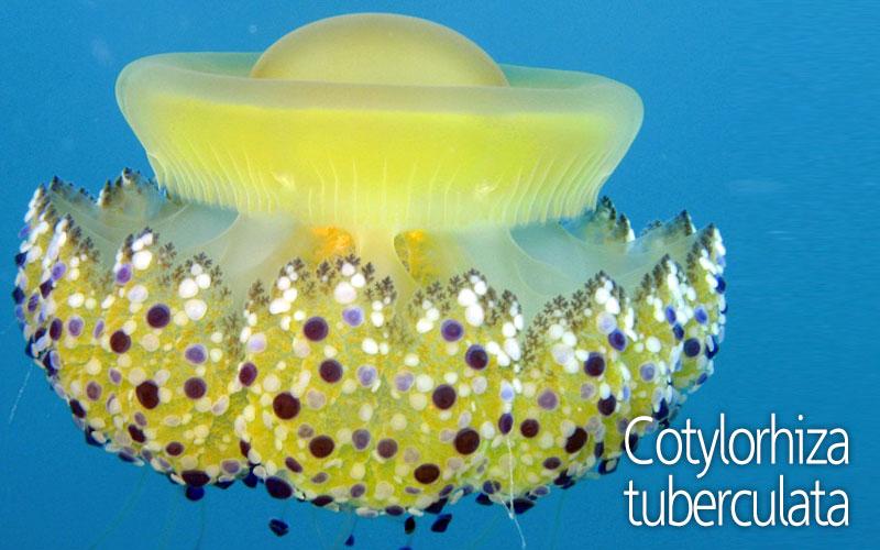 Μέδουσα Cotylorhiza tuberculata | Μέδουσες και τσούχτρες