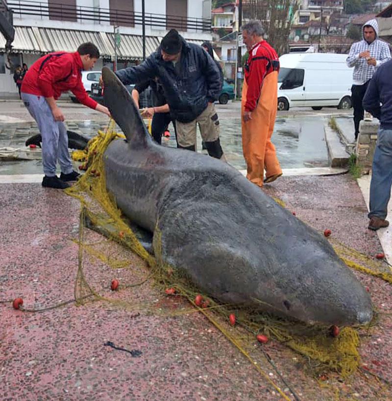 karcharia evgalan sto limani toy achilleioy almyroy magnisias 1 - Βόλος: Καρχαρίας επτά μέτρων στα δίχτυα ψαρά από το Αχίλλειο